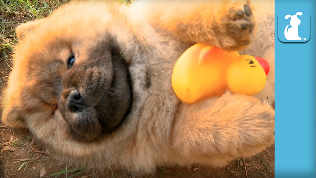 Fluffy Chow Puppy And His Rubber Ducky Puppy Love Youtube