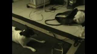 Rat Terrier Plays With Maltese/yorkie Mix