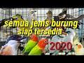 Semua Burung Ada  Dapitlovebird Burung Kicau Muraibatu  Mp3 - Mp4 Download