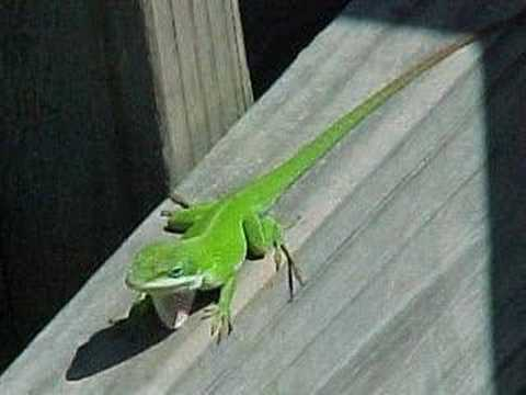 a tribute to my anole texas