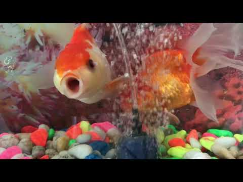 Why My Gold Fish Open Mouth Always Dose Not Close