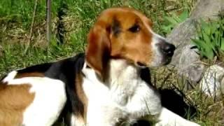 Карпатская гончая. Крепкая,выносливая и сильная собака. Обладает хорошей злобностью к зверю