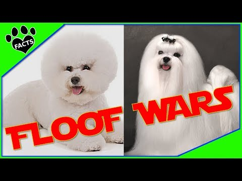 Maltese vs. Bichon Frise - Dog vs. Dog:Which is Better? - Animal Facts