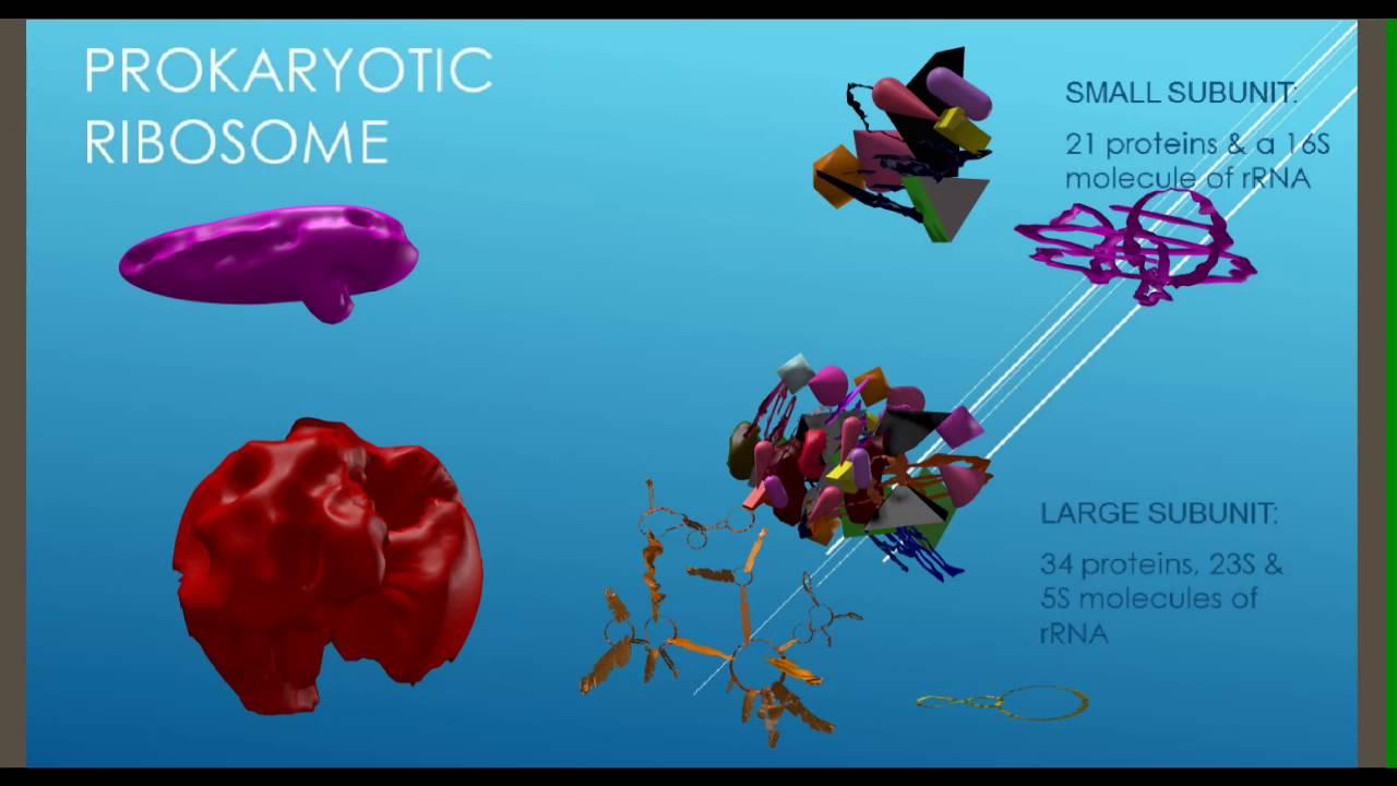 Prokaryotic Amp Eukaryotic Ribosomes Youtube