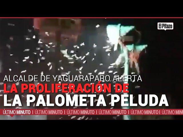 Sucre | Alcalde de Yaguaraparo alerta la proliferación de la palometa peluda