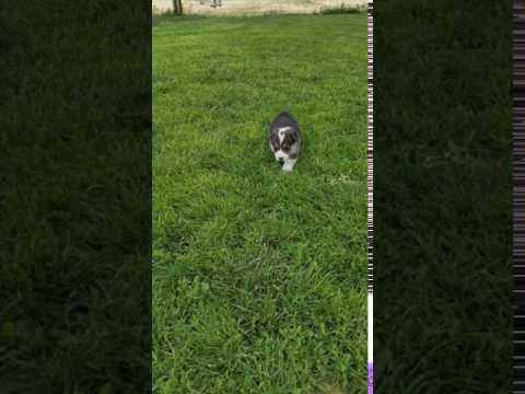 PuppyFinder.com : dougie not sally ann
