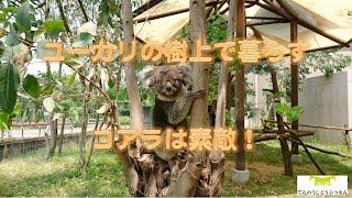 天王寺動物園の人気者のコアラのアーク父ちゃん 今日も外に出てきてユー...