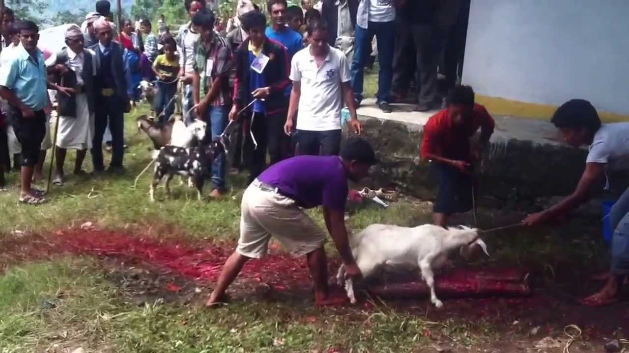 Van Honderden Geiten Gaat De Kop Eraf Tijdens Nepalees