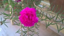portulaca flower plant care (Bengali)