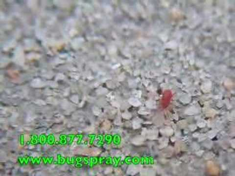 Red Spider Mites up close