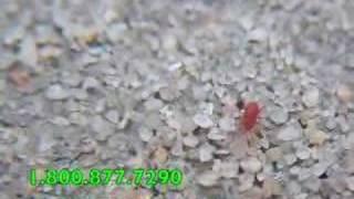 Red Spider Mites up close