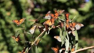 The Monarch Butterflies of Pismo Beach, California