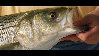 Video How To Fish Bait For Delta Stripers! Episode 1 download MP3, 3GP, MP4, WEBM, AVI, FLV November 2017