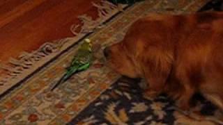 Bird plays with sleeping golden thumbnail