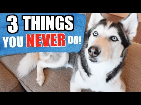 3 Things You Should NEVER Do To A Siberian Husky! (SAFETY TIPS)