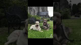 Feorish Irish wolfhounds pack