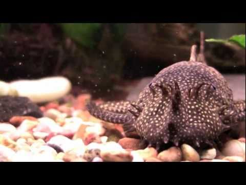 Bristlenose Pleco - Tropical Fish Profile