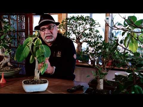 146) Ficus Bonsai, Genus, benghalensis,  बरगद, Virens, Panda, Ginseng, Indoor Bonsai बोन्साई नंदी,