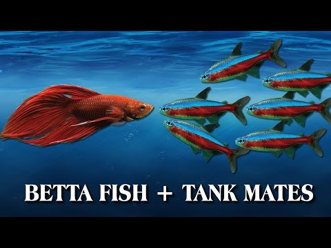 How To Introduce Your Betta Fish To Other Fish / Tank Mates