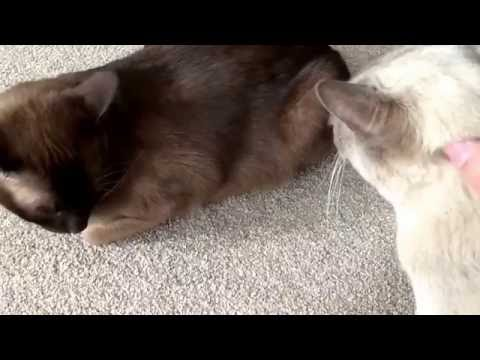 Affectionate Burmese Cats