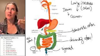 Digestive System 7- Large intestine