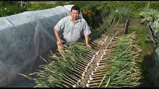 видео Выращивание чеснока в открытом грунте как бизнес в домашних условиях