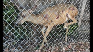 Deer Rescue - San Jose Animal Services