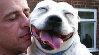 Pitbulls Acting Cute - Funny Pitbull Videos Compilation