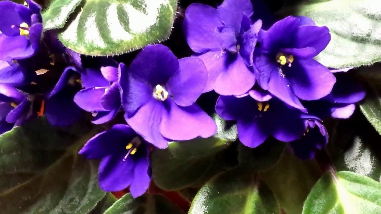 Large Beautiful African Violet Saintpaulias Plant Stunning