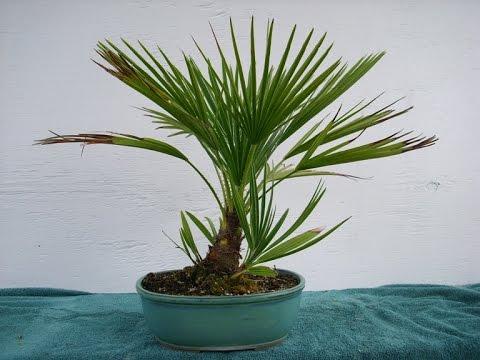 Mediterranean Fan Palm Plant Youtube