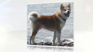 How To Train Your Akita Puppy
