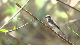 Video masked shrike juvenile download MP3, 3GP, MP4, WEBM, AVI, FLV Juli 2018