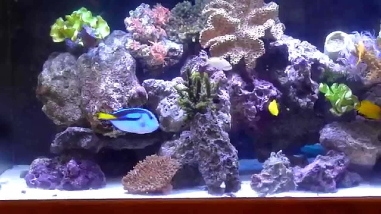 Yellow Eye Kole tang in wide 100 gallons saltwater ...