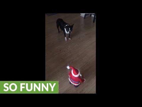 Boston Terrier isn't ready to meet Santa yet