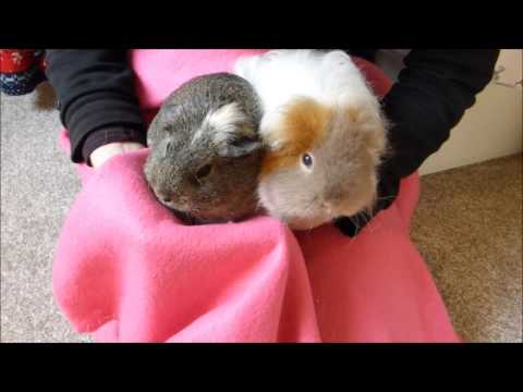 HOW TO:  Handle Guinea Pigs Correctly!
