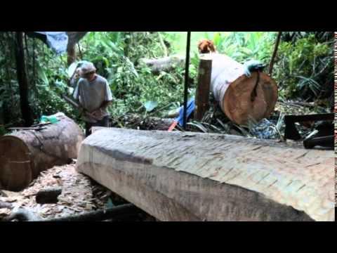 Documentário Guapuruvu Soberano - Canoa Caiçara