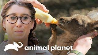 ¡La leche de una mamá canguro se acabó! | Los Irwin | Animal Planet