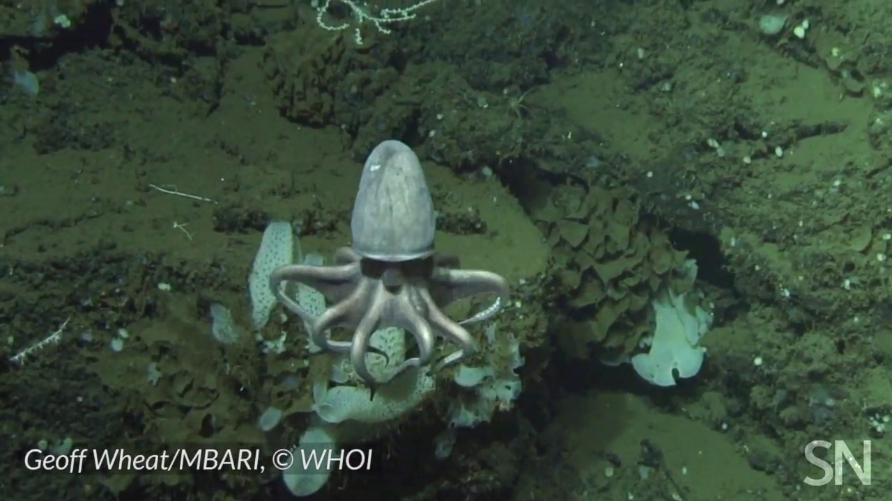 See a doomed octopus nursery 3,000 meters below the sea surface | Science News