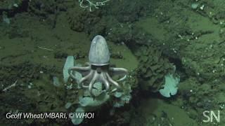 See a doomed octopus nursery 3,000 meters below the sea surface | Science News