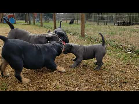 Bully Puppies 5 Months Old