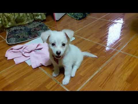 Japanese Spitz X Shih Tzu Puppy