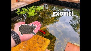 LEOPARD BABY EXOTIC TURTLE For The POND!
