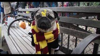Doug The Pug - Tompkins Square Park Halloween Dog Parade