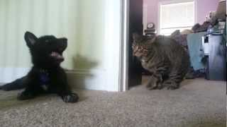 Introducing Luna the Wolfdog to Skitz the Cat