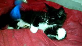 Кошечка Мейн-кун американского фенотипа породы  Категория Breed  Окрас   биколор