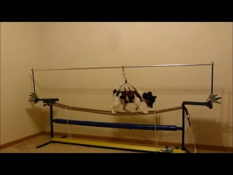 Papillon dog on a tightrope: forwards and backwards