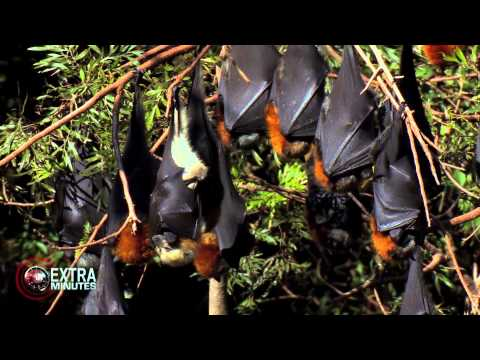Extra Minutes | 'Australian Rabies | Interview with Louise Saunders - Bat Conservation and Rescue.