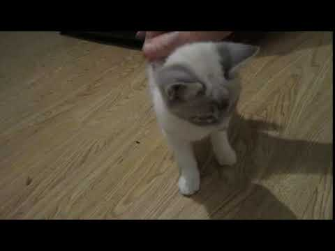 MaryEllen, adoptable kitten, purring, December 2017 video 1