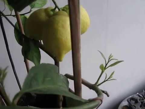Видео 189 Комнатный лимон Новогрузинский
