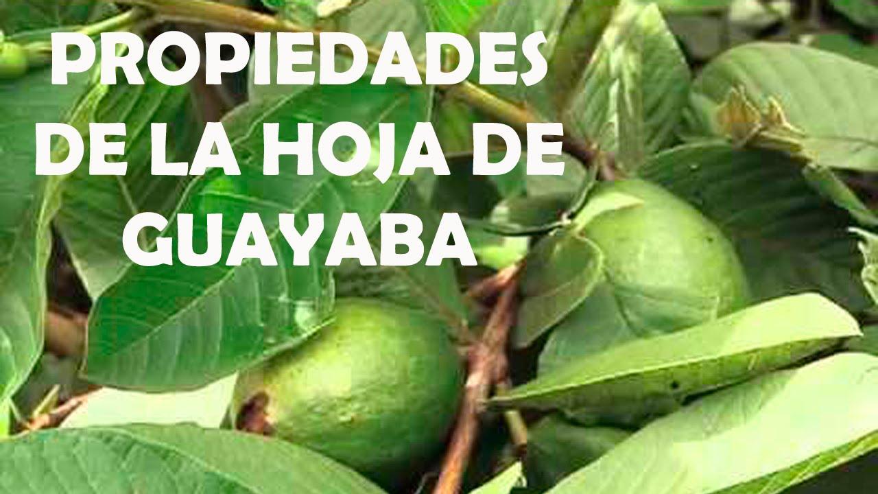 hojas de guayabo para el pelo